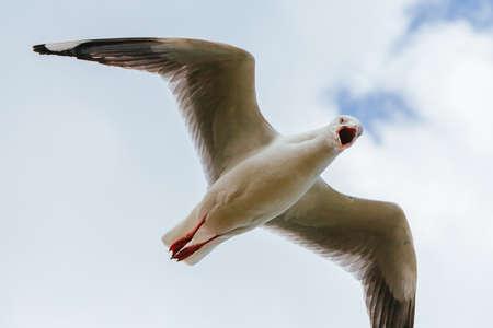 Seagull Soaring in Victoria Australia