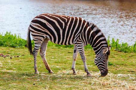 Plains Zebra in Melbourne Australia