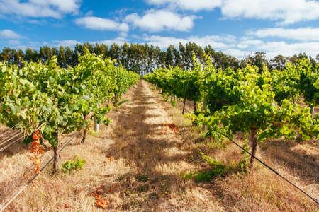 Margaret River Chardonnay Vines