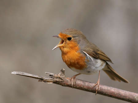 erithacus: European robin perched on a twig, singing
