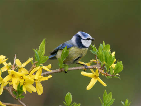 songster: Blue tit perched in yellow blooming tree Stock Photo