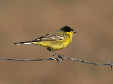 songster: Yellow wagtail perched on a fence-wire Stock Photo