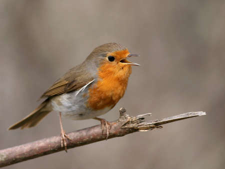 songster: European robin perched on a twig