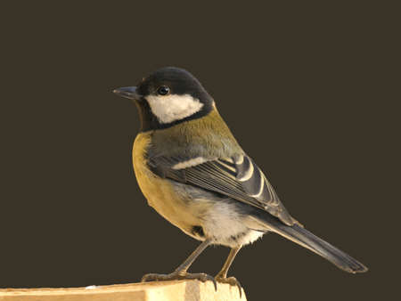 Great tit perched on wooden bar against dark wall photo
