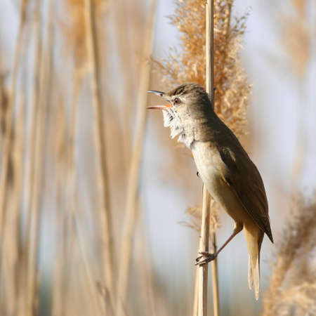 warbler: Great Reed,Warbler perched among reed, singing Stock Photo