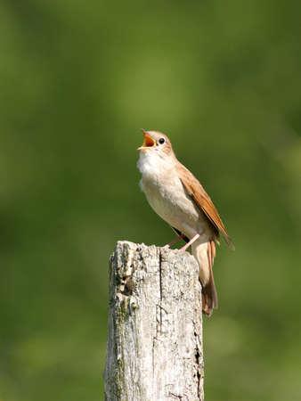 usignolo: Nightingale arroccato sulla barra di legno su sfondo verde, cantando