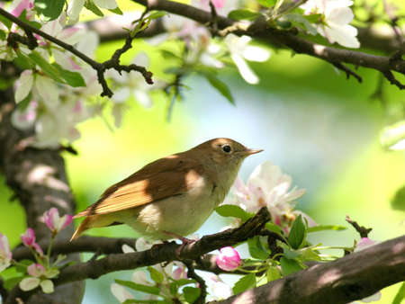songster: Nightingale perched in flowering tree