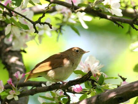 ruiseñor: Nightingale se encaramó en el árbol floreciente