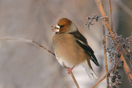 Hawfinch perched on a twig, at winter photo