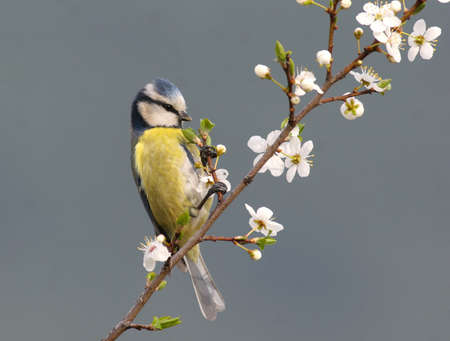 songster: Blue tit perched on white blooming twig