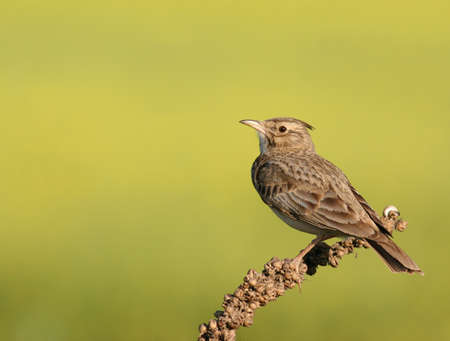 songster: Skylark perched on a plant Stock Photo