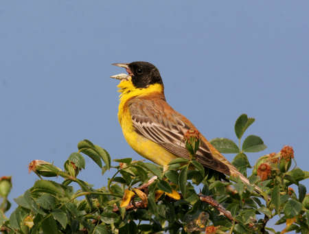 songster: Black headed Bunting perched on a bush Stock Photo