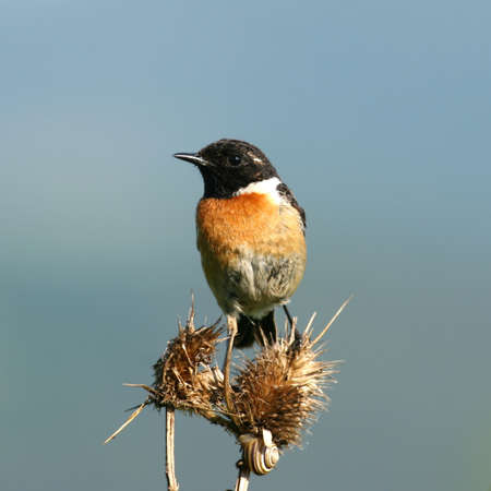 songster: Stonechat perched on a dry flower