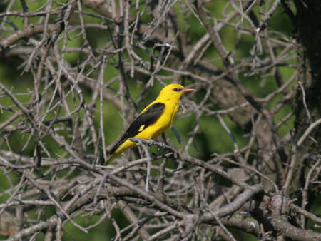 oriole: Golden Oriole perched in a tree