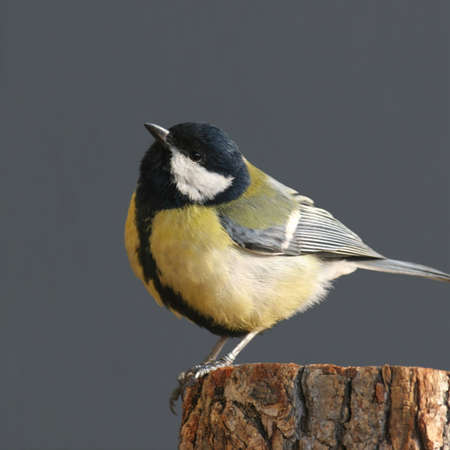 songster: Tit  great perched on wooden bar Stock Photo