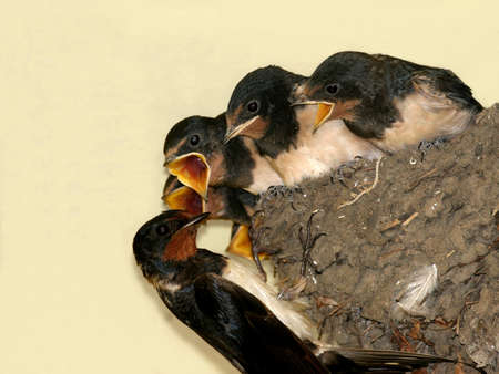 songster: Barn swallow in front of nest with chicks Stock Photo