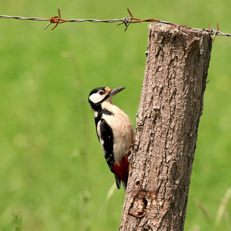 pecker: Great Spotted Woodpecker perched on wooden bar Stock Photo