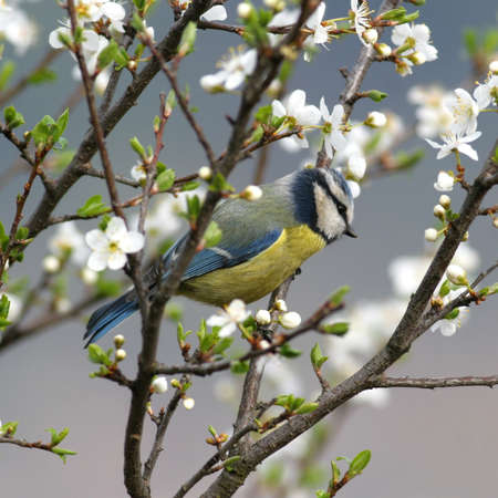 songster: Blue tit perched in a blooming tree