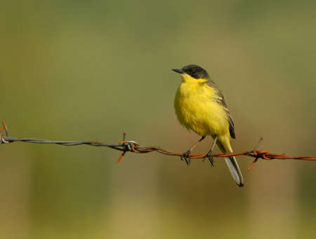songster: Yellow wagtail perched on  wire