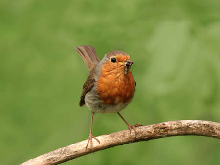 songster: European robin perched on a twig, against green background