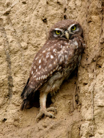 athene: Little owl   young   perched on vertical earth