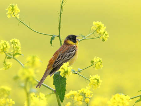 songster: Male Black headed Bunting perched among flowering field of rape