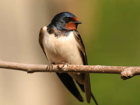 songster: Barn swallow perched on a twig Stock Photo