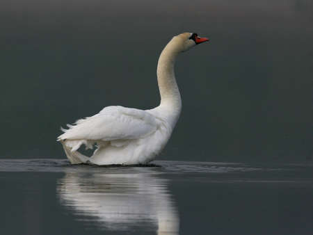 Mute swan in a lake Stock Photo - 79243088