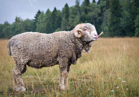 to tease: male sheep to tease ,  protruding tongue