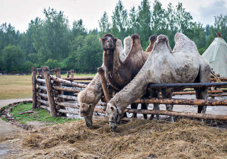 indigenous: Two-humped camels. Nomad camp of the indigenous peoples of Asia Stock Photo