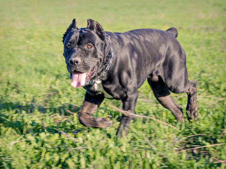 leisurely: Male of breed Cane Corso, running a leisurely trot through the field, overgrown with green grass