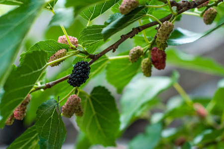 colore: ripe mulberries hanging on a branch