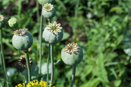 codeine: poppy capsule on the stem