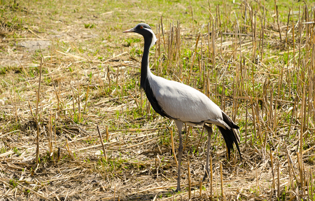 fine legs: Demoiselle Crane among the dry grass side view. Stock Photo