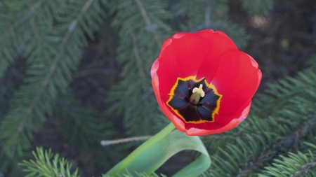 Pestle and stamens in a flower of a tulip. 写真素材