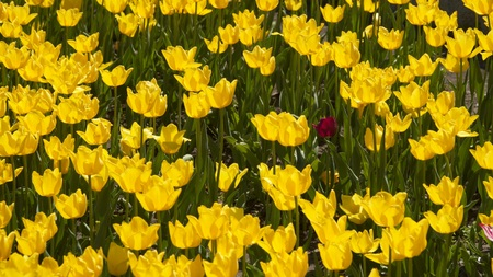 Glade with many yellow tulips 写真素材