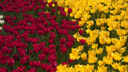 Glade of yellow and red tulips. 写真素材