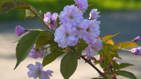 Sakura flower. Spring Cherry blossoms, pink flowers 写真素材