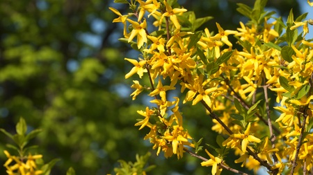 Yellow currant flowers on a branch. Flowering currant.