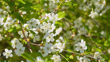 Cherry blossom branch. Blooming cherry 写真素材
