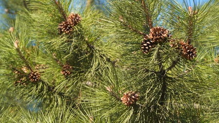 Cones on a pine branch. Brown pine cones on the branches of pine
