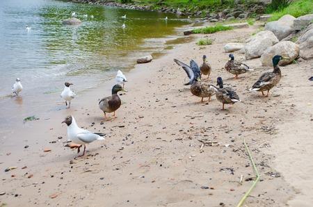 Ducks and seagulls on the coast.