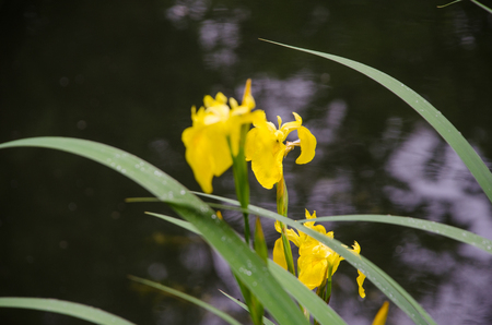 Yellow flower among the green leaves against the background of the pond.