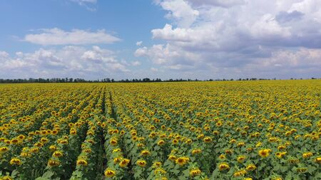 Blooming sunflower field. Aerial view.