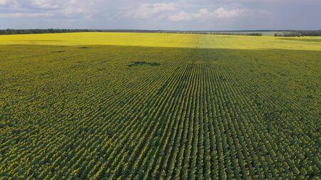 Sunflower field with a bird's-eye view.