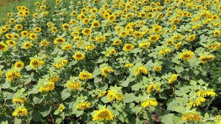 Sunflower field in bloom. Aerial view