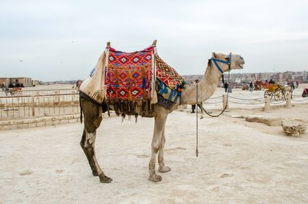Cairo, Egypt - January 14, 2020 : Camels near the Cheops Pyramid Redactioneel