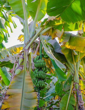 Bananas on the palm. Banana palm trees