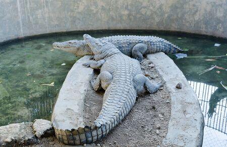 Two crocodiles in an aviary. Crocodile sharp teeth. Stockfoto