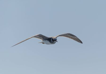 Seagull flying in the blue sky. Close up